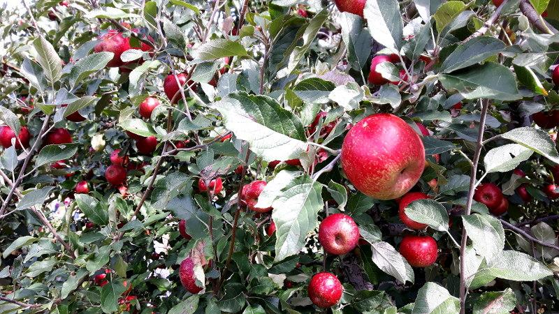 Foto von roten Äpfeln